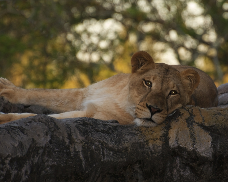 Naping Lion