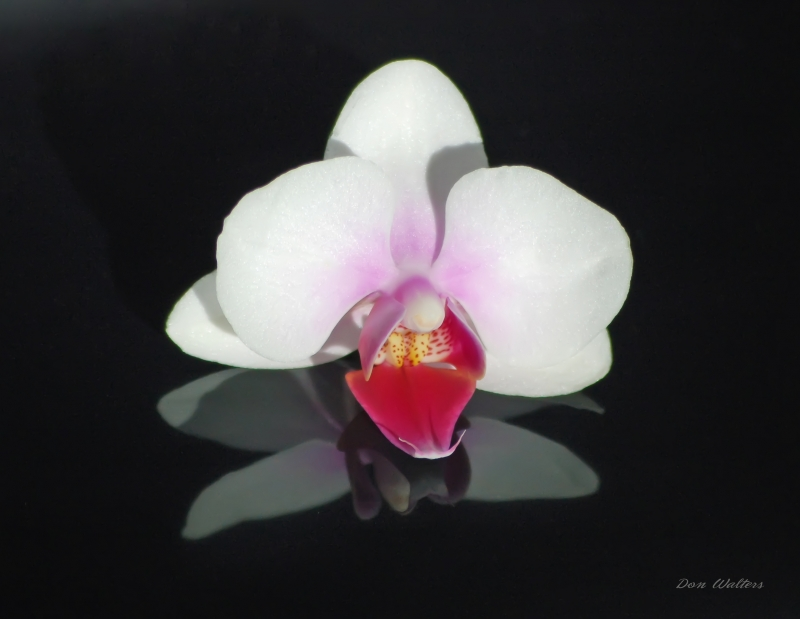 Orchid Blosum And It's Reflection On A Shinny Black Surface