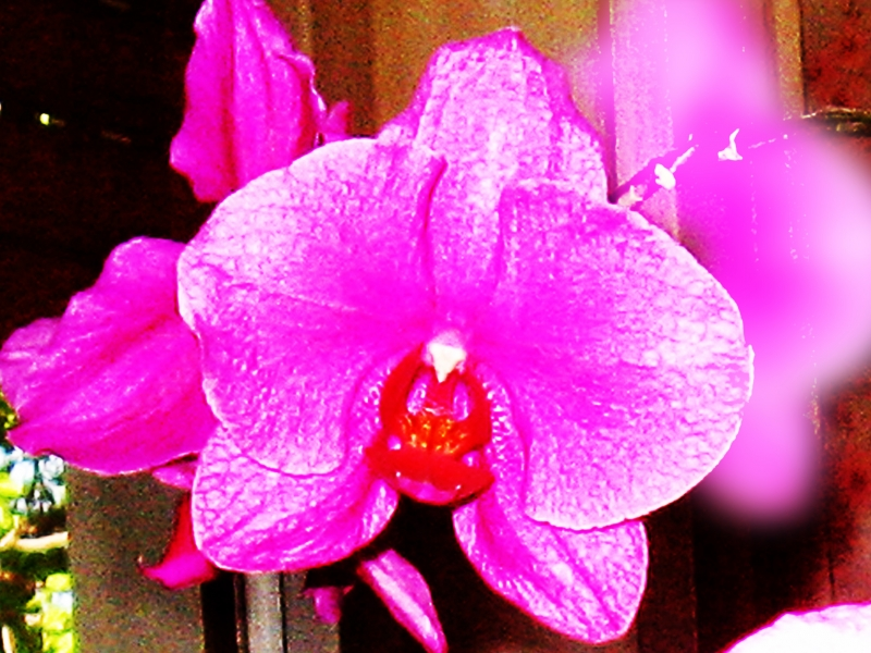 Orchidin My Window