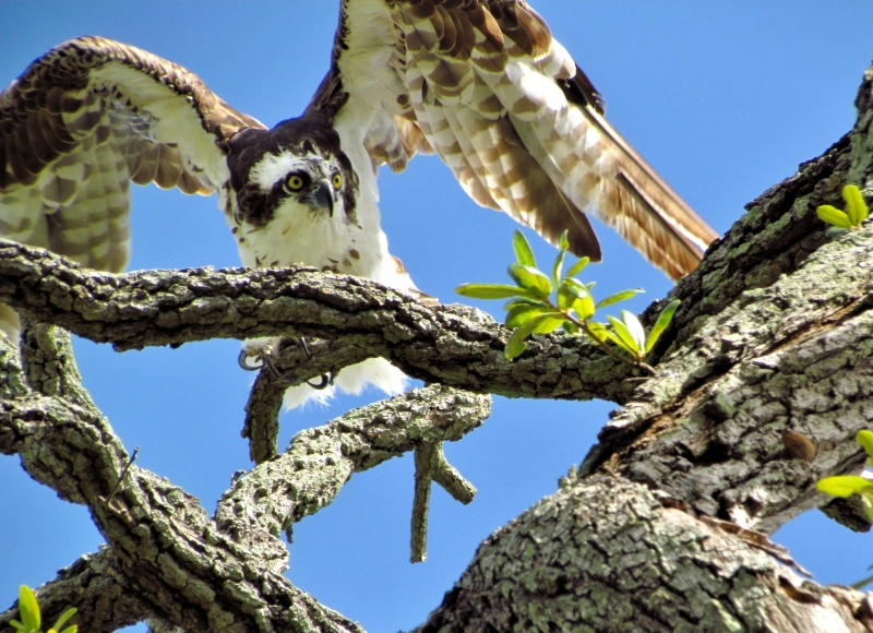 Osprey In An Oak Tree