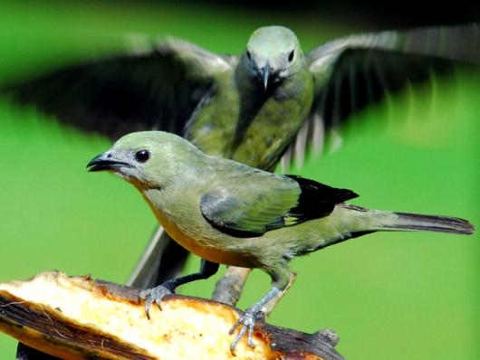 Palm Tanagers