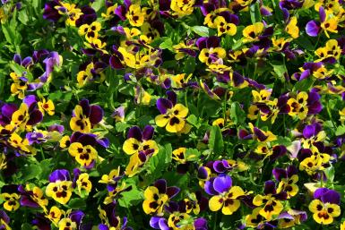 Patch Of Wild Pansies
