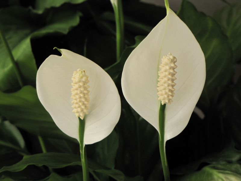 Peace Lily Duo Of Blooms