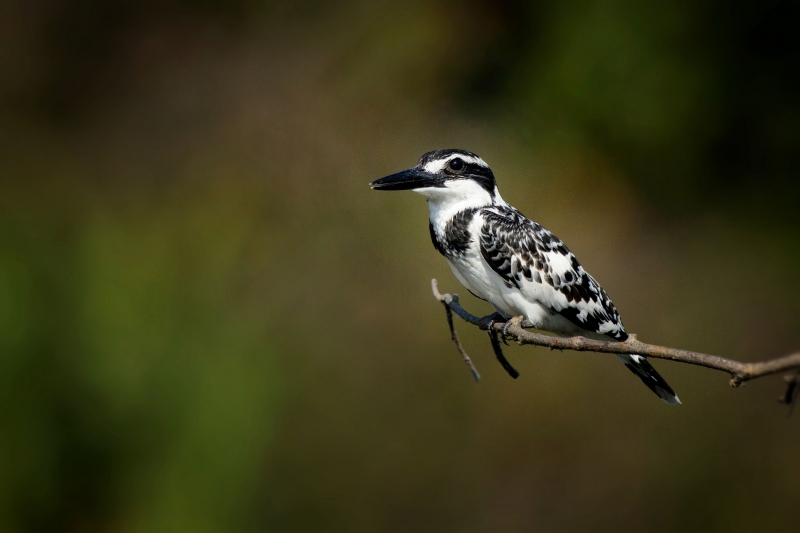 Pied Kingfisher Female