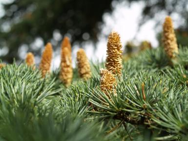 Pine And Nut