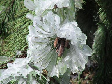 Pineconeflower In Ice