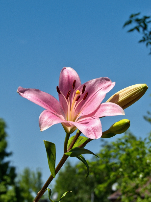Pink Lily 3