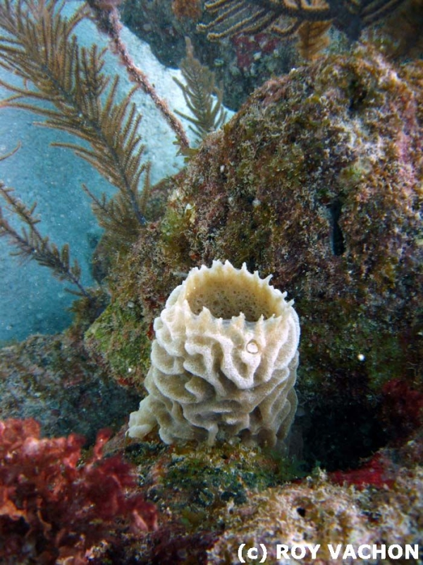 Pipe Coral