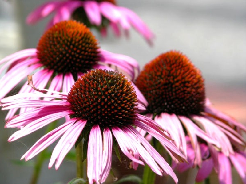 Purle Cone Flower