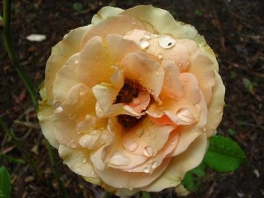 Rain On A Summer Rose