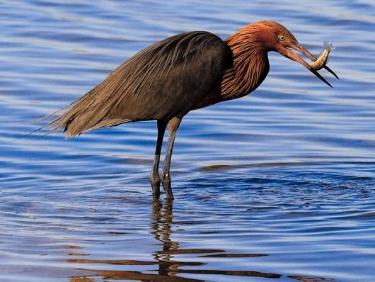 Red Egret With Fish
