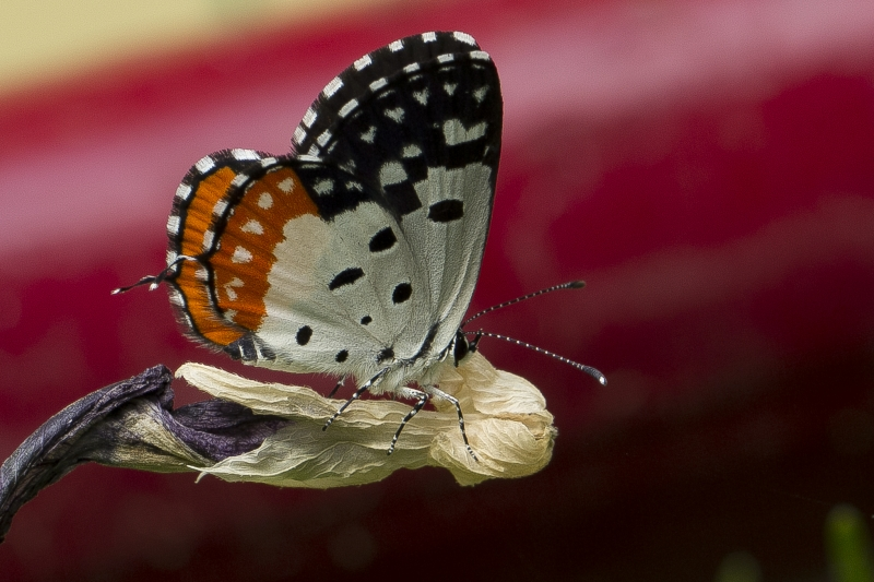 Red Pierrot… At My House Graden!!!