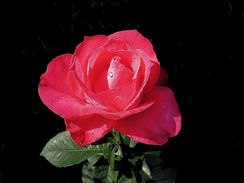 Red Rose With Dewdrop