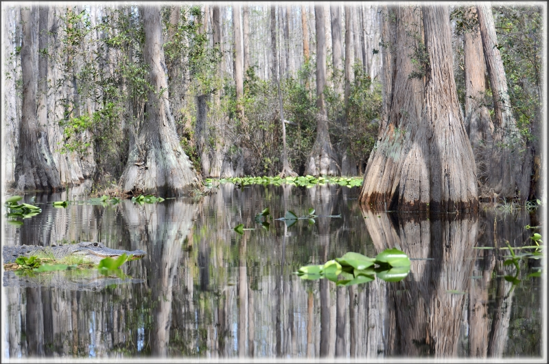 Reflections In The Okefenokee Swamp