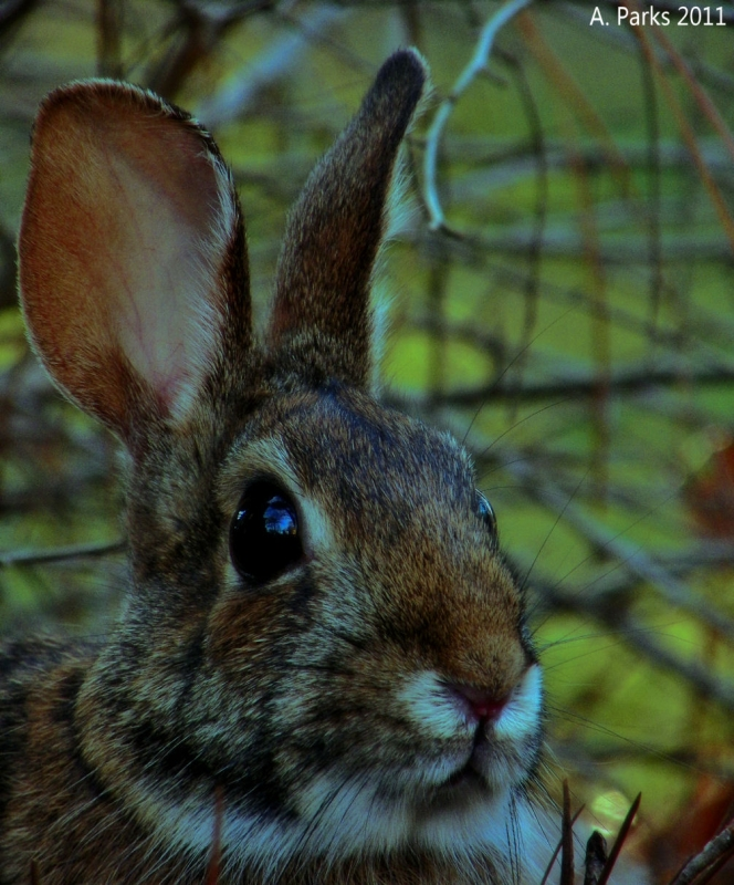 Residential Cottontail