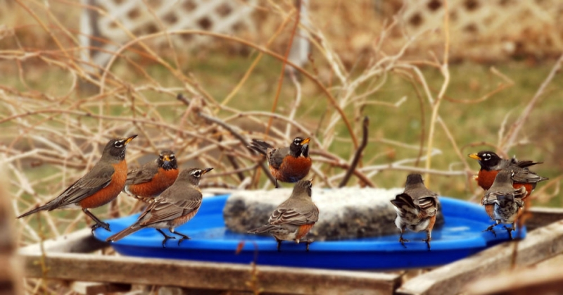 Robins At The Watering Hole