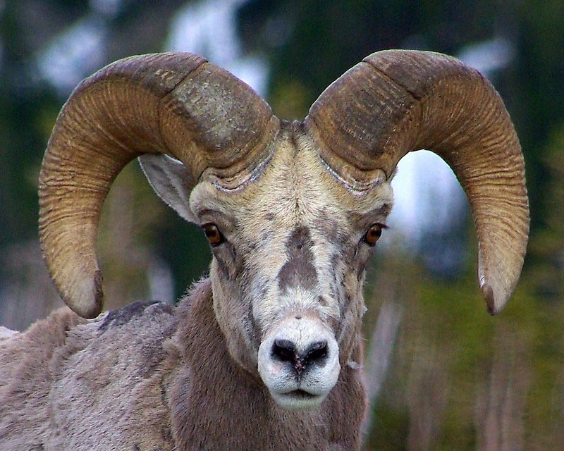 Rocky Mountain Bighorn Portrait