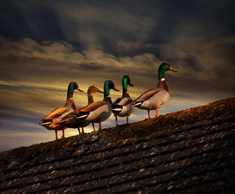 Rooftop Ducks