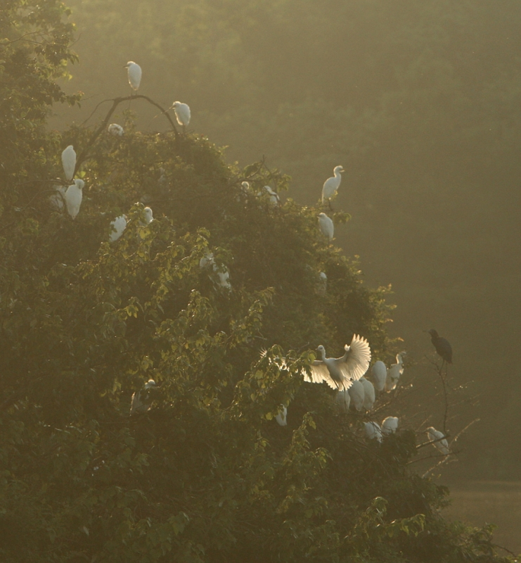 Rookery At Dawn