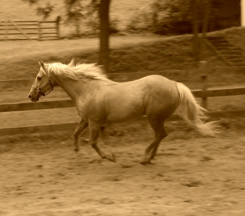 Run My Palomino Friend