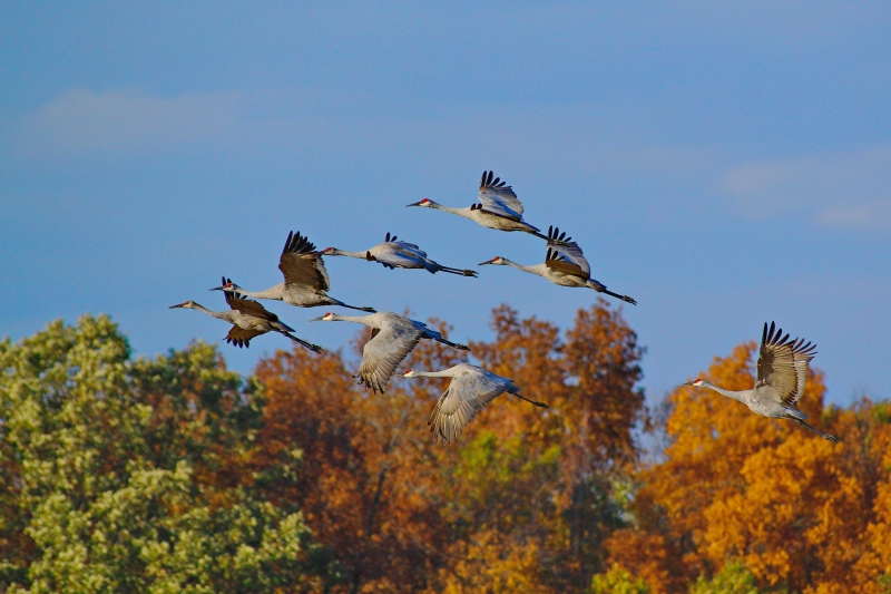 Sandhill Cranes In Autumn