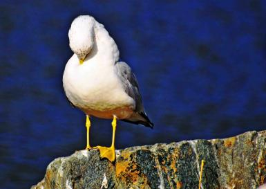 Seagull At Rest