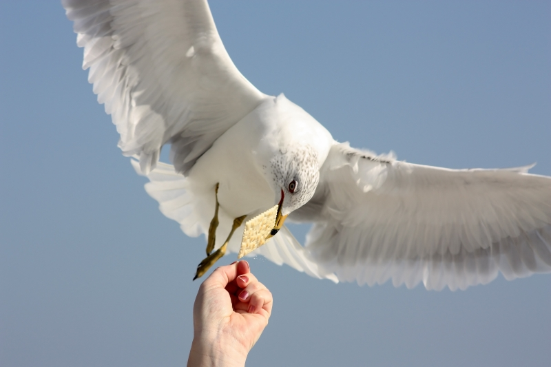 Seagull Eating Cracker