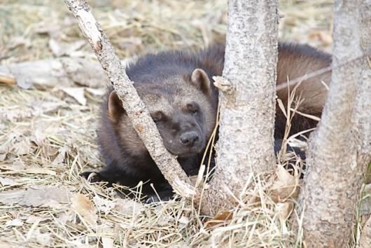 Sleepy Wolverine