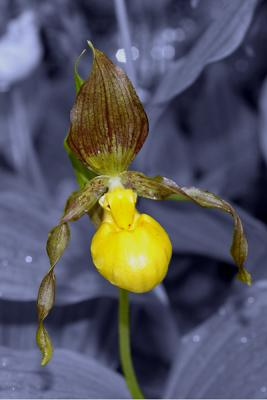 Slipper Orchid On Bw Background