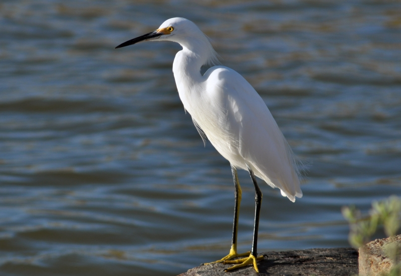 Snowy Egret At Water's Edge