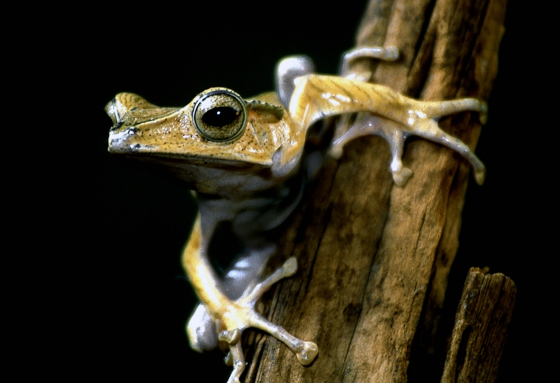South American Treefrog