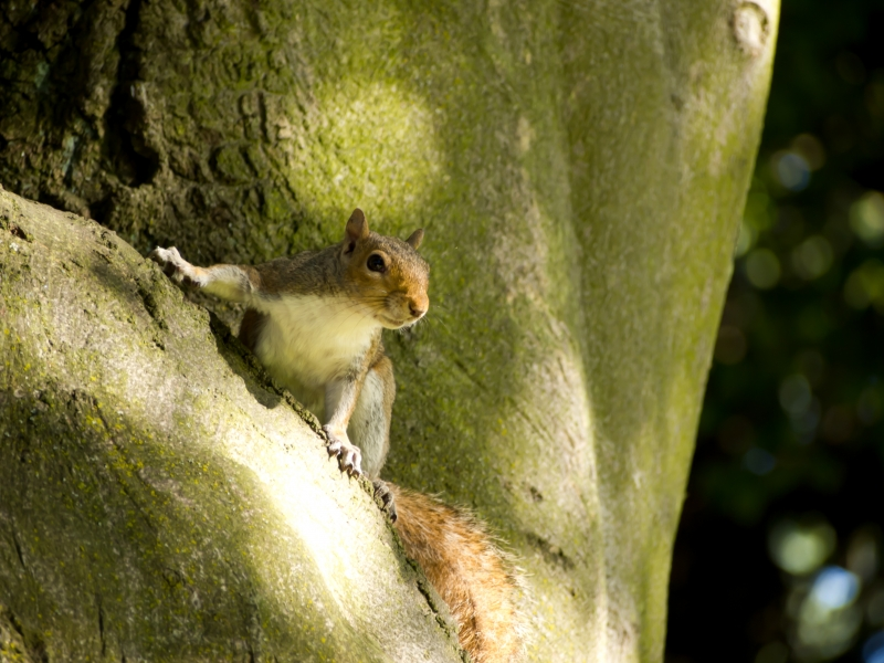 Squirrel In Tree, Kinnear Park