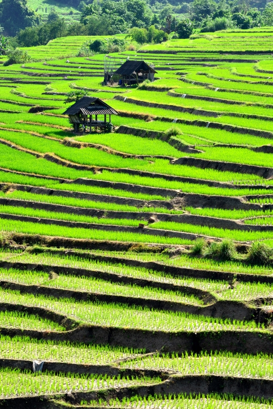 Step Rice Field