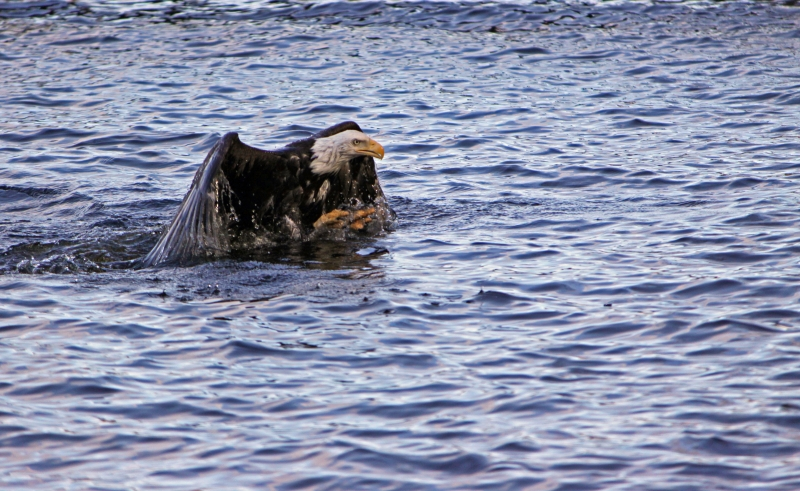 Swimming Eagle
