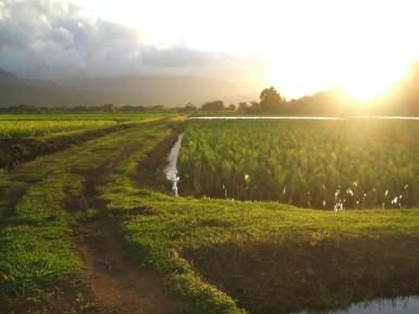 Taro Fields In Kauai
