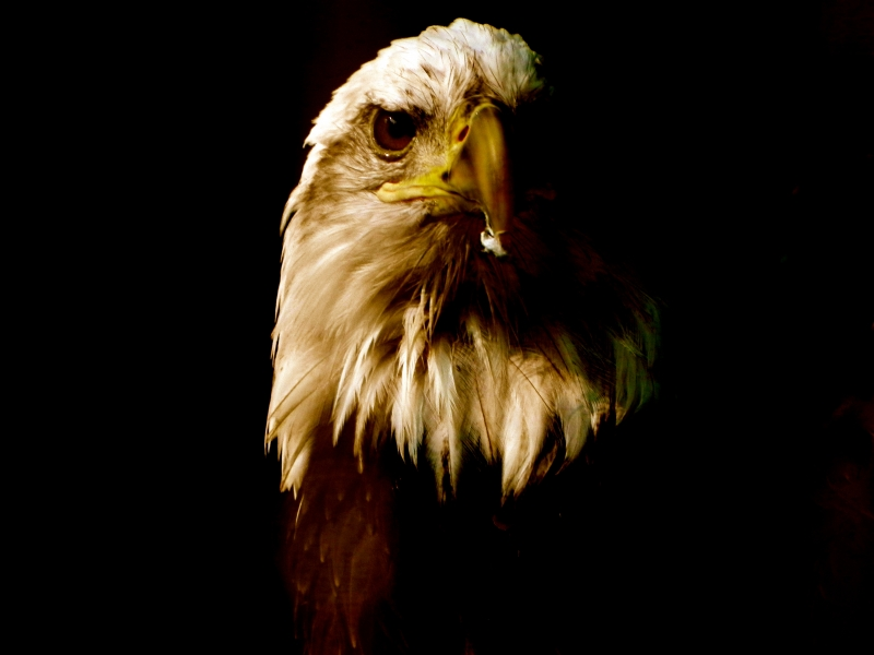 The Great Bald Eagle