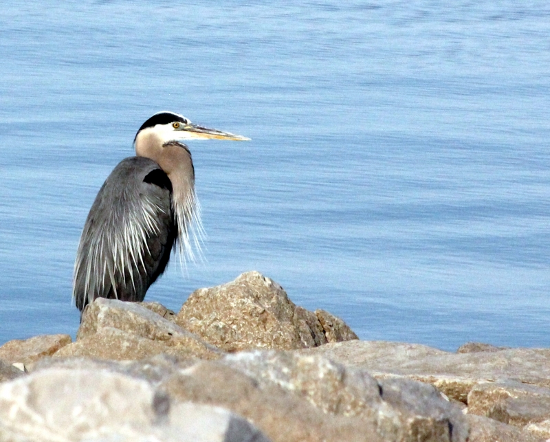 The Great Blue Heron On Shore