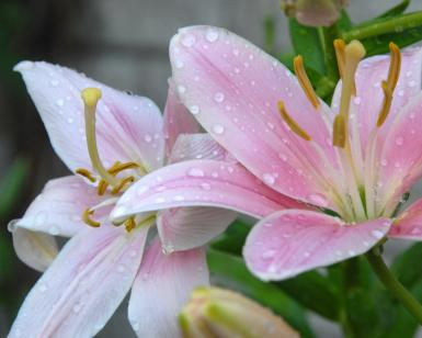 Thirst Quenched American Lilies