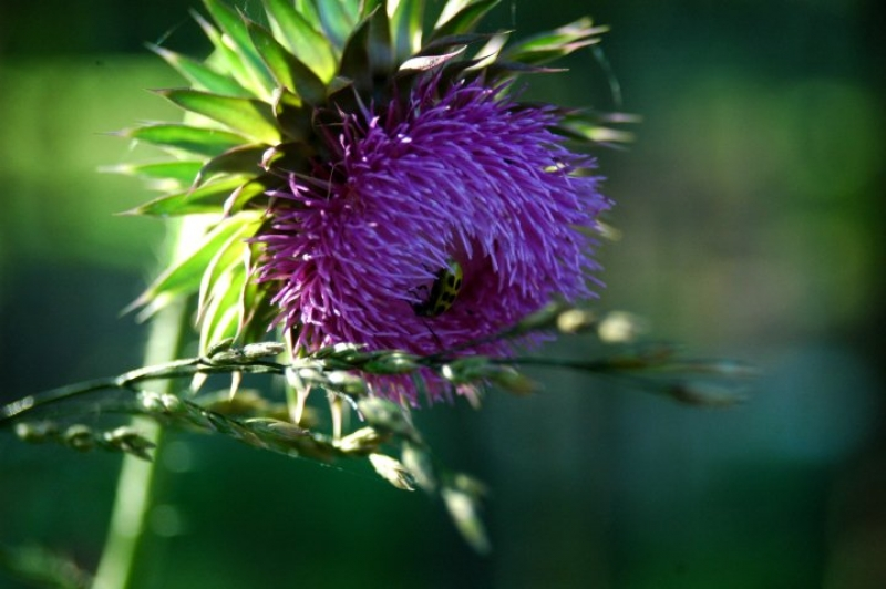 Thistle's Friend
