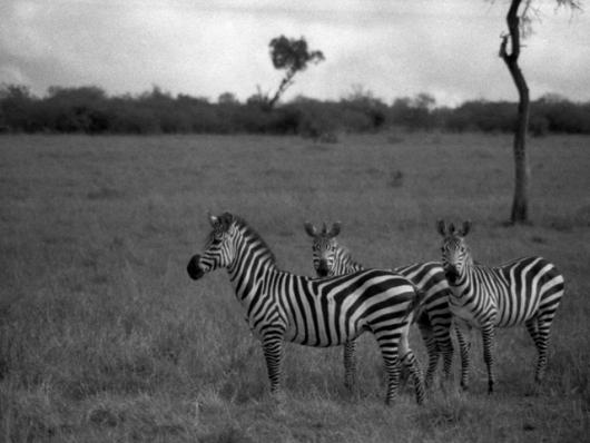 Three Zebras In Kenya