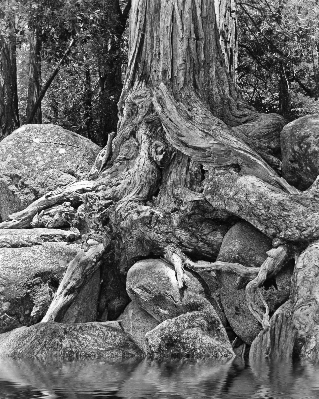 Tree Devours Rock