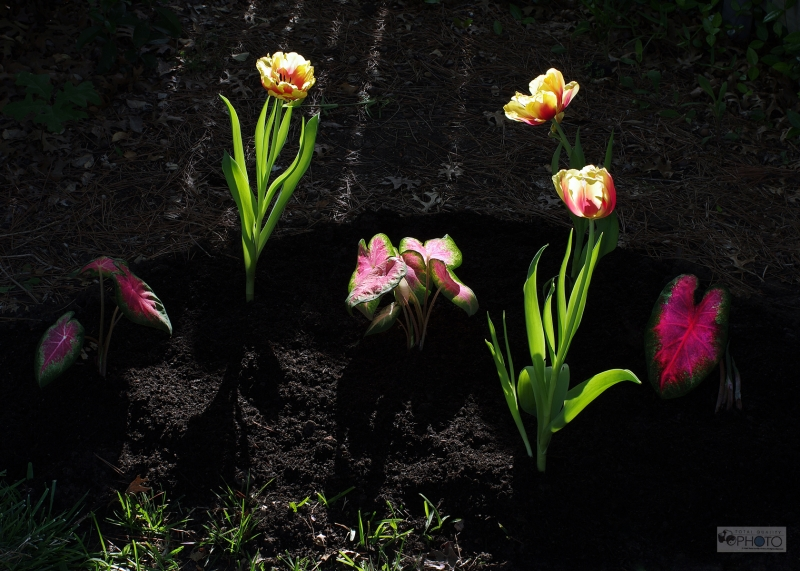 Tulips In Backlit Sunlight