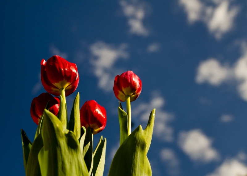 Tulips In The Sky