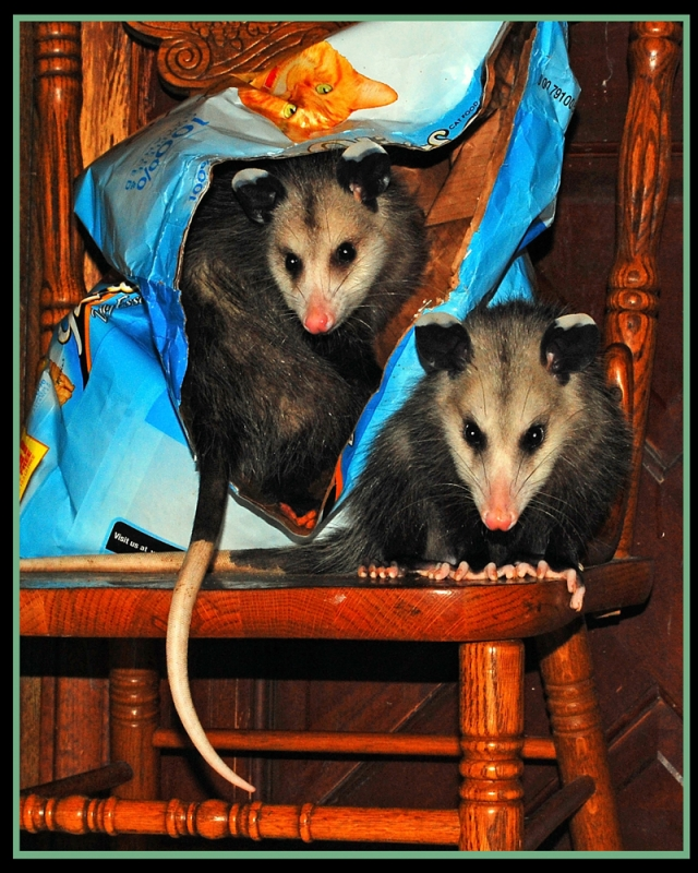 Two Possums