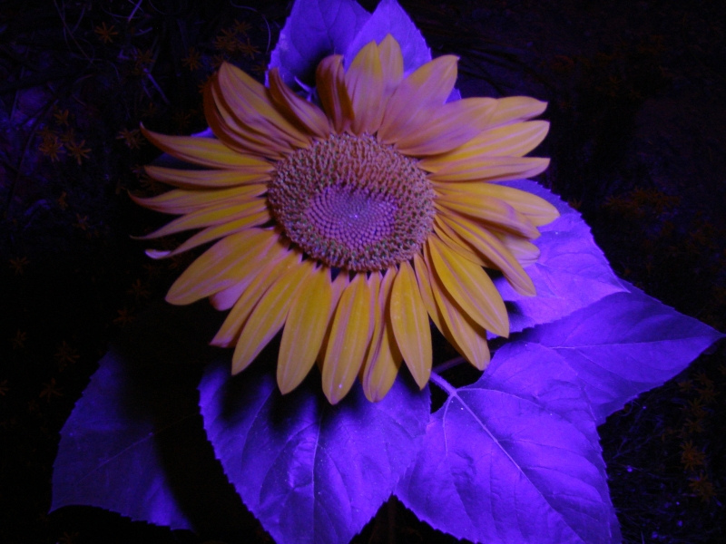Uv Sunflower