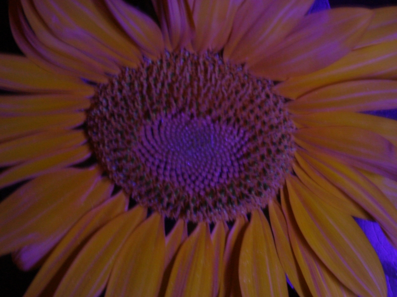 Uv Sunflower 3