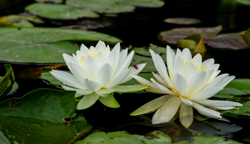 Water Lillies With A Surprise Ii