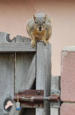 West L.a. Squirrel