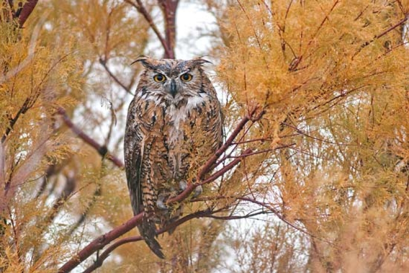 Wet Great Horned Owl
