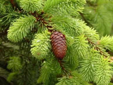 Wet Little Pine Cone